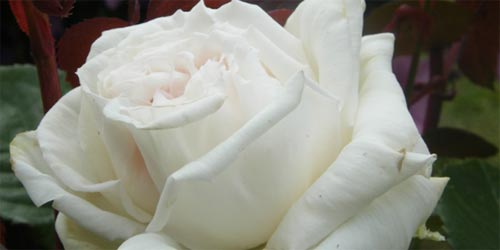 rosas-blancas-p